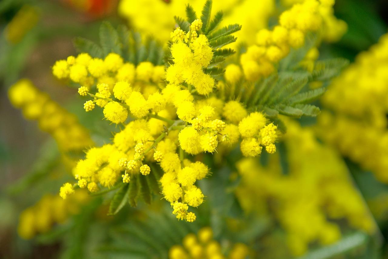 mimose 8 marzo